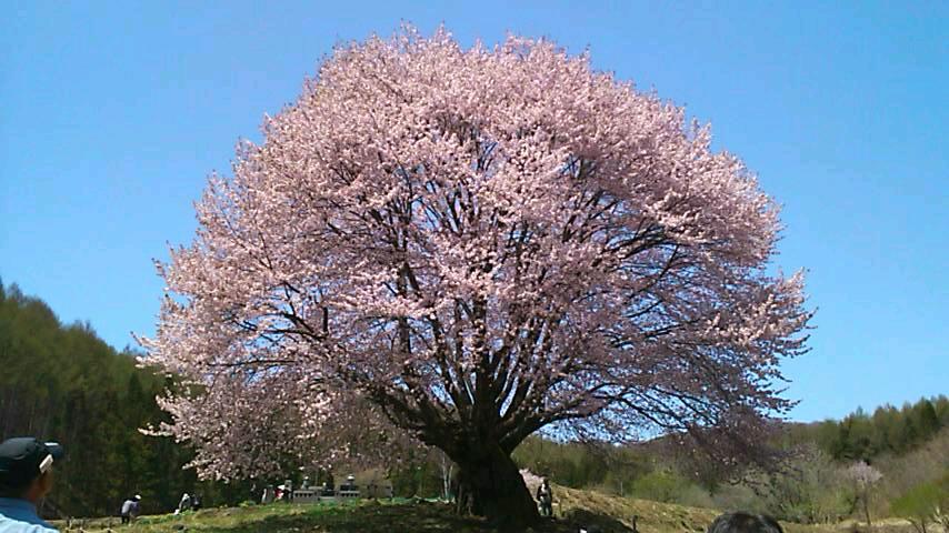 天王桜満開!