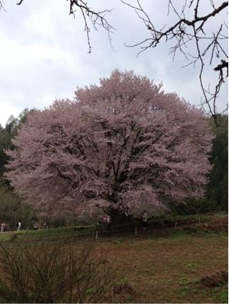 満開天王桜